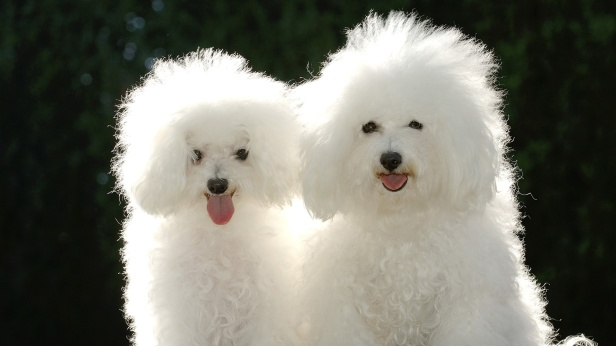 animal-two-white-dogs-backgrounds-wallpapers